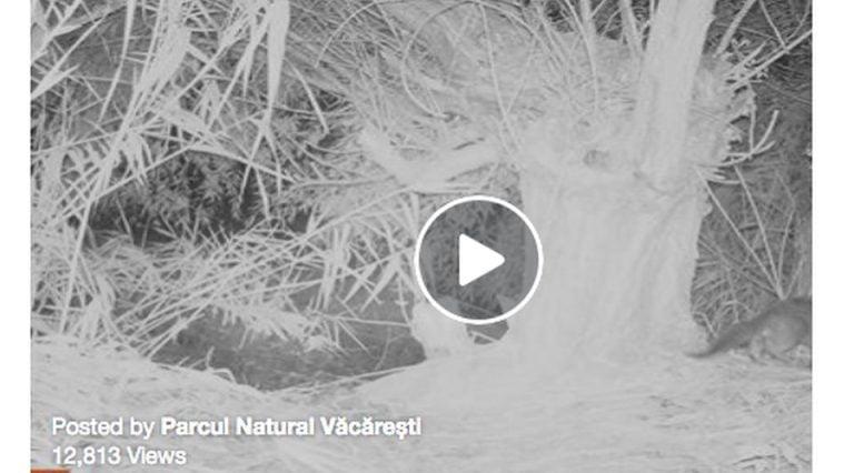 VIDEO – Un animal considerat disparut A REAPARUT! A fost filmat in Bucuresti!