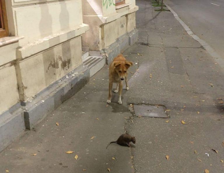 Imagine reprezentativa: Un caine maidanez si un sobolan, pe strada, in Piata Romana!