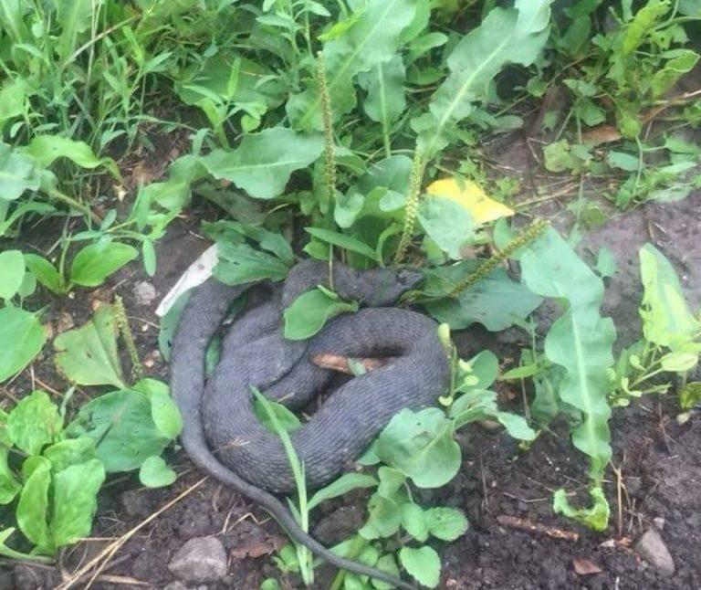 FOTO-VIDEO Doi serpi in zona centrala a Bucurestiului, in ultimele zile!